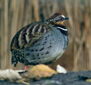 Arborophila - White-necklaced partridge (Arborophila gingica)