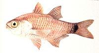 Archamia lineolata
