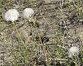 Arctic Cottongrass.jpg