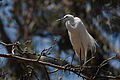 Ardea alba -Morro Bay Heron Rookery -8.jpg