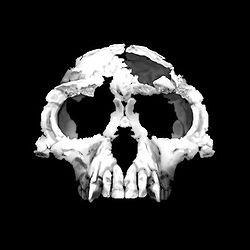 Cráneo de Ardipithecus ramidus