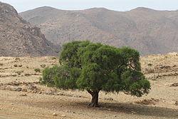 Argan tree, Tighrassen, Tarsouat, Amanouz, Tafraout.JPG