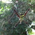 Argiope pulchella - A species of Orb Spiders.jpg