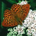 Argynnis.paphia.male.2616.jpg