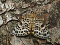 Arichanna melanaria - Пяденица голубичная (41980432210).jpg