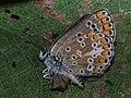 Aricia agestis - Brown argus - Голубянка бурая (40305392404).jpg