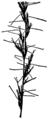 Aristida longespica HC-1950.png