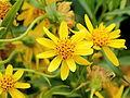 Arnica longifolia-IMG 4675.jpg
