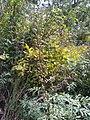 Artemisia messerschmidtiana 24860086.jpg