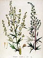 Artemisia vulgaris — Flora Batava — Volume v19.jpg