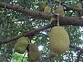 Artocarpus (22945905149).jpg