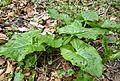 Arum maculatum leaves.JPG