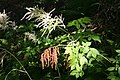 Aruncus dioicus, Drugeon - img 22509.jpg