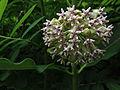 Asclepias syriaca - Common Milkweed 3.jpg