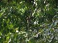 Asian Barred Owlet - Glaucidium cuculoides - P1080006.jpg