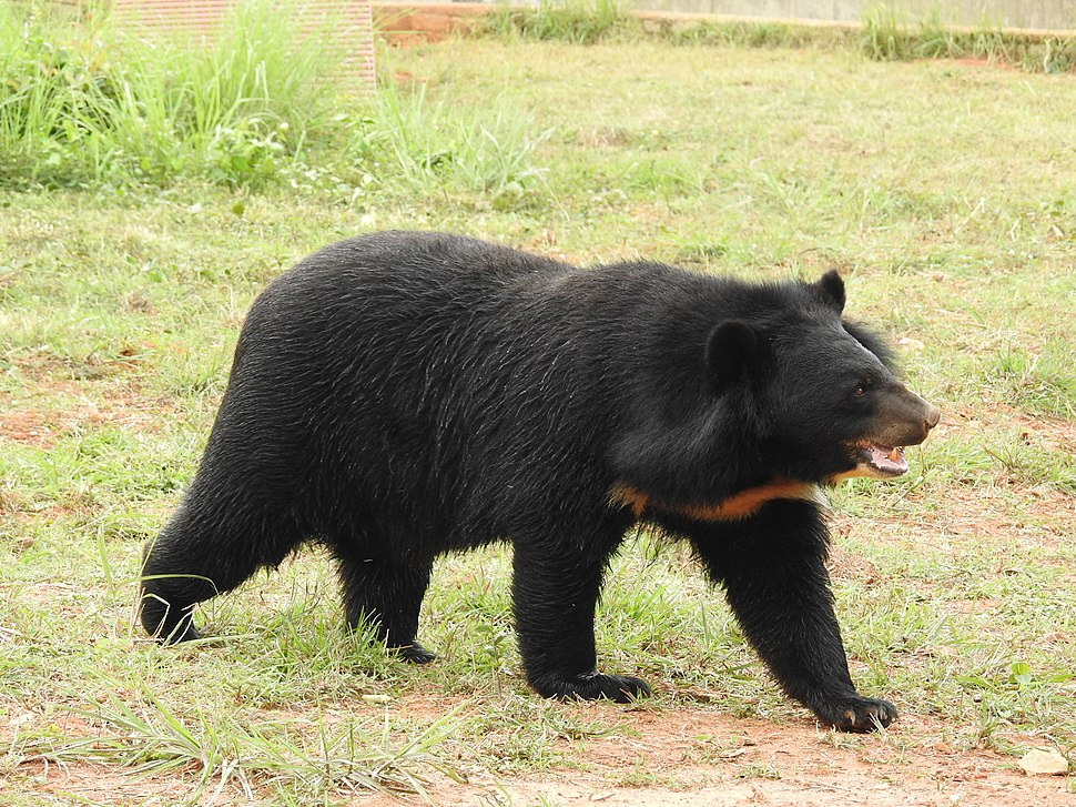 Asian Black Bear Ursus thibetanus by Dr. Raju Kasambe 02