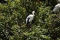 Asian openbill stork (Anastomus oscitans) from Ranganathittu Bird Sanctuary JEG4053.JPG
