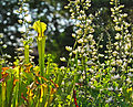 Asst. Sarracenia (9180969372).jpg