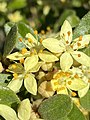 "Asterolasia ""Lemon Essence"" flower cluster.jpg"