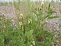 Astragalus cicer (5183008362).jpg