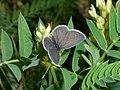 Astragalus cicer 2016-08-31 3855.jpg