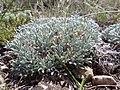 Astragalus hyalinus (7349096292).jpg