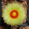 Astrophytum flowers 116.jpg