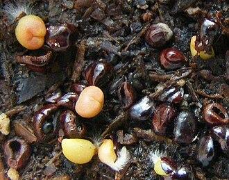 Astrophytum - Seedlings of Astrophytum spp.