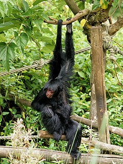 Red-faced spider monkey species of mammal