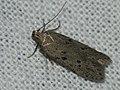 Athrips mouffetella - Невзрачная моль жимолостная (39991172555).jpg