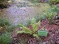 Athyriim filix-foemina Habitus 2010-7-17 JardinBotanicoHoyadePedraza.jpg