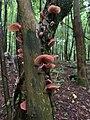 Auricularia auricula-judae 99676920.jpg