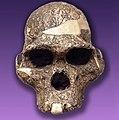Australopithecus africanus (mrs. Pless).jpg