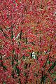 Autumn Leaves (Liquidambar Styraciflua) (2967000252).jpg
