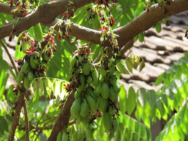 File:Averrhoa bilimbi Flower and fruit.JPG