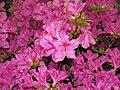 Azaleas (Dover, Ohio, USA) 3 (27177782845).jpg