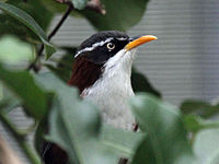 Babbler, Chestnut-backed Scimitar4.jpg