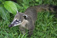 Baby South American Coati (5465648302).jpg