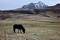 Bailey Iceland pony.jpg