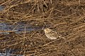 Baird's Sparrow Curly Horse Ranch Rd Sonoita AZ 2018-01-26 09-35-44 (26064326228).jpg