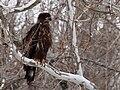 Bald Eagle-27527-1.jpg