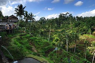 Tegallalang - Rice terraces in Tagallalang