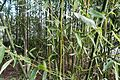 Bamboo @ Promenade Plantée @ Paris (31932180580).jpg