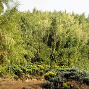 The bamboo suppresses other vegetation growth, roads allow other species to populate.