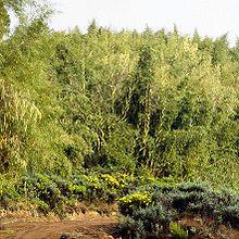 Les bambous annihilent toute autre forme de végétation. seuls le