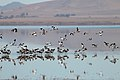 Banded Stilts and Red-necked Avocets (25028143416).jpg
