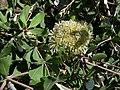 Banksia integrifolia var. integrifolia.JPG