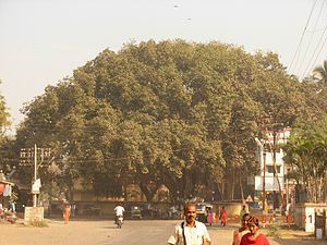 Dahanu - The huge Banyan tree at Parnaka, Dahanu