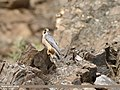 Barbary Falcon (Falco pelegrinoides) (44395921860).jpg