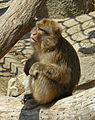 Barbary Macaque, Zoo, Budapest.jpg